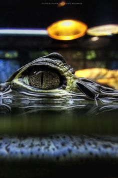 Caiman crocodile by  Filipe Oliveiraon 500px.com  (Original Size - Height: 1200px - Width: 800px)