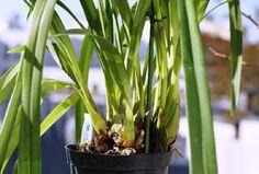 Cuidar las Orquídeas en casa- Cymbidium