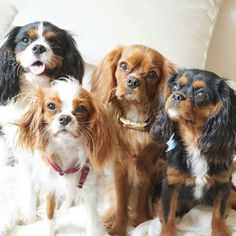 Regal in name, and just about the cutest creatures on planet earth — you may think you know the Cavalier King Charles Spaniel, but I bet ya didn't know these eight facts about this fluffy breed! 1. They've Got A Brand New Claim To FameKind of feel like any Cav lover could have told the world this without a research team BUT...A team of scientists recently declared the Cavalier King Charles Spaniel as being the furthest removed physically from the wolf! The breed was also found to be the ...