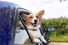 How to Stuff a Dog Kong Like a PRO — Stumps + Rumps Corgi Breeds, Frozen Dog, Pet Photographer, Homemade Dog Treats, Dry Dog Food, Pembroke Welsh Corgi, Animal Photography, A Team, Dogs And Puppies