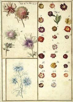 Watercolour studies of flowers ( 1730) from Karlsruher Tulpenbuch  Wikimedia.