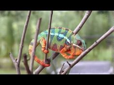 Real Chameleon Color change - Cool to watch color change, but could overexcite some children with eye movements and music. May want to turn volume down. Charlotte's Clips http://pinterest.com/kindkids/