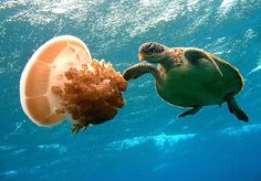 Jellyfish and Sea Turtle