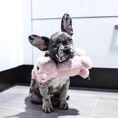 Beautiful Akira, the Merle French Bulldog Puppy,  @lifeof_akira on instagram #buldog