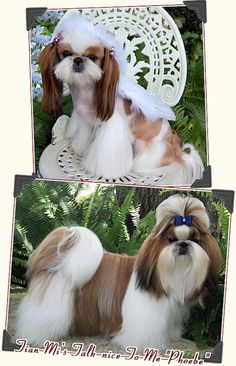 Our Shih Tzu Kids
