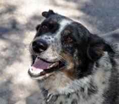Freckles has been adopted! Freckles is an adoptable Australian Cattle Dog (Blue Heeler) Dog in Rifle, CO. Freckles is a ball playing family dog looking for a new family! She is great with people and other friendly dogs. She LOV...