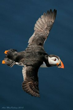 Isle of May Puffin by AMKs_Photos, via Flickr