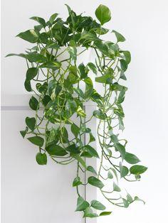 Living Room Plants, House Plants Decor, Plant Decor, Living Spaces, Best Bathroom Plants, Kitchen Plants, Ficus Elastica, Plante Pothos, Pothos Plant Care