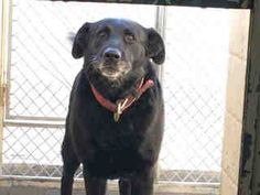 PLEDGES AND RESCUE NEEDED! OWNER SURRENDER DUE TO LANDLORD ISSUES. A4366822 My name is Yogi and I'm an approximately 7 years, 3 month old male labrador retr. I am not yet neutered. I have been at the Downey Animal Care Center since February 20, 2015. I am available on February 24, 2015. You can visit me at my temporary home at D126. https://www.facebook.com/photo.php?fbid=824596464287354&set=pb.100002110236304.-2207520000.1425206319.&type=3&theater