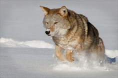 Coyotes are not new neighbors of ours in IL!   The long soulful howl of the wolf is like an opera singer and the yips and yaps of the coyote are like rap singers, according to professor Stanley Gehrt, a senior scientist at the Max McGraw Wildlife Foundation in Dundee.