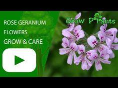 Pelargonium graveolens - Learn how to grow Pelargonium graveolens, plant information - climate, zone, uses, growth speed, water, light, planting & bloom