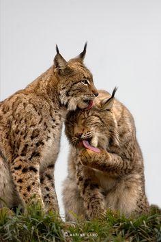 gatos montes