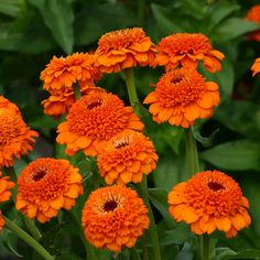 Zinnia Seeds - 117 Zinnias - Huge Selection of Annual Flower Seeds Outdoor Flowers, All Flowers, Orange Flowers, Summer Flowers, Beautiful Flowers, Flowers Bucket, Simply Beautiful, Zinnia Elegans, Border Plants