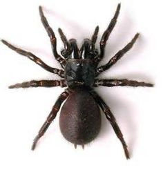 Funnel Web Spiders - Bing Images