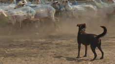 Utter concentration: Man's best friend watching on to ensure the day runs smoothly at Nindi-Thana, Dirranbandi.