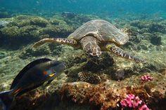 Schildpad en rode zee doktersvis