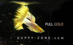 Full gold guppy fish. Guppy, Fish Tanks, Aquariums, Aquarium Fish, Betta, Terrarium, Nerd, Fancy, Colorful