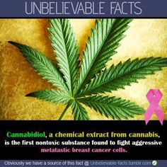 Cannabidiol, a chemical extract from cannabis, is the first non-toxic substance found to fight aggressive metatastic breast cancer cells.