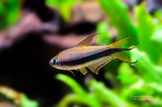 Nematobrycon palmeri (The Emperor Tetra)  ♂ by Goran Kljutić on 500px