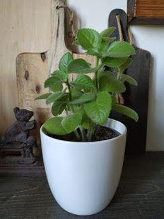 PASTU domov: Mast z rýmovníku Korn, Plants, Flora, Plant, Planting