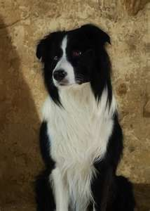 Border Collie,classic black & white,(we used to have one almost identical:Dodger..only collie I knew that was scared of sheep!)