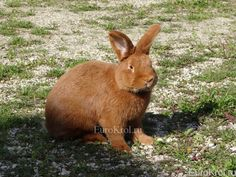 Новозеландский красный кролик
