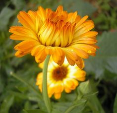 the wonderful properties of Calendula! I like to use it as a hair rinse as well - good for blondes.