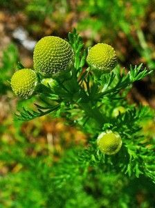 Common wild plants that you can eat!