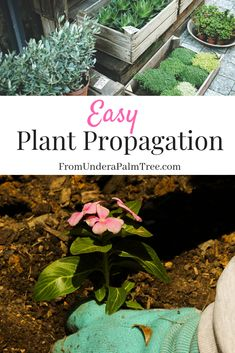 Check out some of these Easy Plant Propagation Tips for replanting some of your favorite indoor and outdoor plants. Outdoor Plants, Potted Plants, Outdoor Spaces, Plant Propagation, Cuttings, Succulents Garden, Planting Flowers, Vegetable Garden Tips, Gardening Hacks