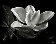 Magnolia In Black And White Photograph by Endre Balogh - Magnolia In Black And White Fine Art Prints and Posters for Sale