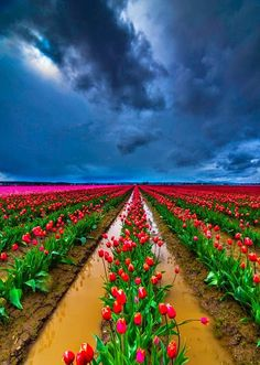 Tulips, Skagit Valley, Washington
