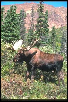 Moose Tours - DAN'S SCENIC TOURS, LLC, North Conway, Gorham & Jackson, New Hampshire