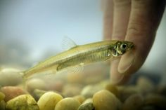 Delta Smelt Deaths Mean Less Water for Central and Southern California