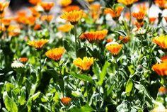 Secrete ale cultivarii castravetilor in gradina bio - magazinul de acasă Salvia, Herbs, Plants, Garden, Nature