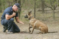 How To Adopt A Military War Dog ~ After we learned about Cairo, the military working dog - aka military war dog - who accompanied Navy Seal Team 6 on the mission to find & kill Osama bin Laden, inquiries about how to adopt a military war dog spiked. Military Working Dogs, Military Dogs, Police Dogs, Belgian Malinois Dog, My Champion, Belgian Shepherd, Loyal Dogs, War Dogs, Service Dogs