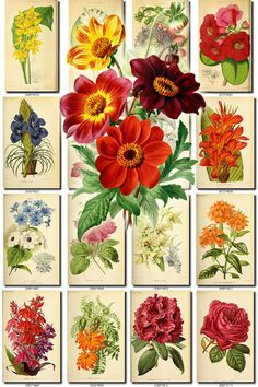 FLOWERS-139 Collection of 222 vintage images Dahlia