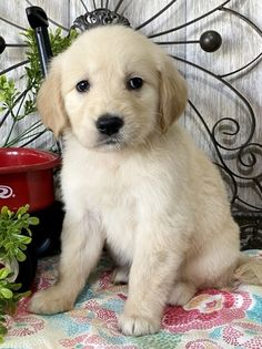 Erin Golden Retriever Puppy 648863 | PuppySpot Best Dogs For Families, Family Dogs, Female Golden Retriever, Puppy Finder, Getting A Puppy, Retriever Puppy, Puppies For Sale, Puppy Love, Future