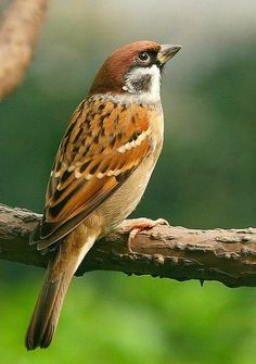 Eurasian Tree Sparrow (photo: Chi Liu)