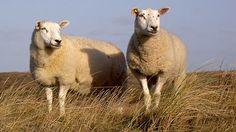 Die Schafskälte um den 11. Juni - Ein Witterungsregelfall, der statistisch eine unglaublich hohe Eintreffwahrscheinlichkeit von 89 Prozent hat, ist die sogenannte Schafskälte um den 11. Juni . Damit sind empfindlich kühle, wechselhafte und oft auch regenreiche Tage gemeint, die sich nach einer ersten sommerlich warmen Witterungsperiode Ende Mai meist noch vor Mitte Juni einstellen. Die Schafskälte ist in weiterem…