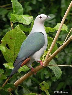 Island Imperial Pigeon, Papua New Guinea