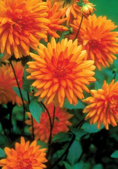 Andres Orange, a beautiful Dahlia; hope mine come up again this spring.