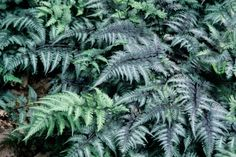 """Japanese Painted Fern     Height: 12-18""""  Spread: 15-18""""  Exposure: Shade  Zone: 4-7     A showy fern with fronds of soft metallic silver-gray and hints of red and blue. The magnificent texture and color electrify shady areas of the garden and make the fern a wonderful companion for a variety of shade-loving plants such as hosta, heuchera and tierella.    2004 Perennial Plant of the Year."""