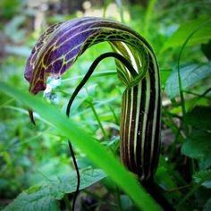 A #snake #shaped plant found in the high #altitudes of Kashmir.