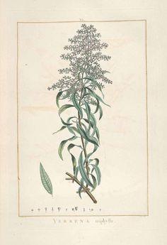 香水木(レモンバーベナ) クマツヅラ科 Aloysia citriodora Palau [as Verbena triphylla L'Hérit.]  (lemon verbena)   L'Héritier  (1784)