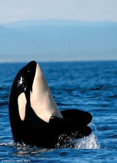 Orcas. Creatures that do not belong in captivity, they were born to be wild. #freeorcas #freenature