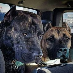 Chiens Bull Mastiff, Big Dogs, Dogs And Puppies, Animals And Pets, Cute Animals, Dog Games, Cane Corso, Mans Best Friend, Dog Love