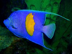 Bright blue fish with yellow spot Exotic Fish, Exotic Birds, Colorful Fish, Tropical Fish, Fish Mobile, Saltwater Aquarium Fish, Wild Animals Pictures, Water Animals, Fish Fish
