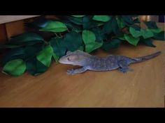 Decided to post this video to give people a basic overview of crested geckos if you were interested in soon making one your pet. Lizards, Reptiles, Crested Gecko Care, Class Pet, Pet Dogs, Pets, Geckos, Pet Stuff, Future