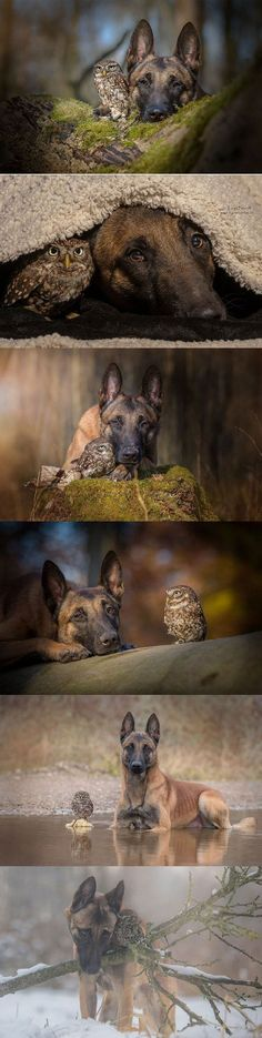 Ingo the Shepherd and Poldi the Owl (dog, owl) #Owls