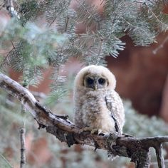 Pictured here is an adorable Mexican Spotted owlet found at #Zion National Park in Utah. @ZionNPS is critical habitat for the Mexican spotted #owl, a species classified as threatened on the federal level. #NationalPark Service photo.